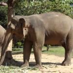 Dans l'Elephant Village, les locataires prennent leur repas (150kg de nourriture par tête).