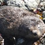 Près du rivage, un phoque dort paisiblement.