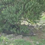Un autre qui paresse sous un buisson non loin de là.