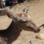 Un cerf, repu des biscuits que je viens de lui donner.