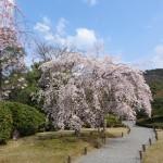 """""""Etre rien qu'en vie - à l'ombre des cerisiers - cela est un miracle"""" Haiku de Kobayashi Issa."""