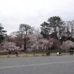 Dans le parc impérial de Kyoto, les japonais viennent nombreux pour admirer les cerisiers.