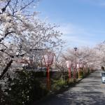 Près du canal, une rue bordée de sakuras.