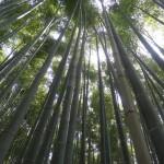 La forêt de bambous.