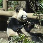 Un panda boulotte une tige de bambou au zoo d'Ueno.
