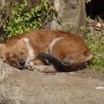 Toujours au zoo d'Ueno, une espèce de coyote prend une pose kawaii.