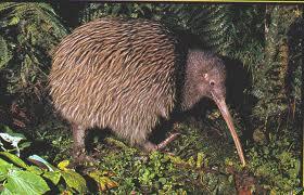 Le kiwi est un oiseau nocturne qui se peut pas voler.