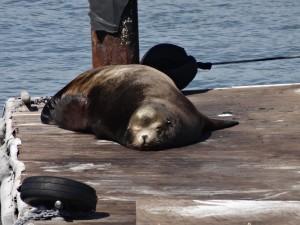 Un lion de mer dort paisiblement sur un des quais de Fisherman's Wharf...