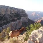 Un des habitants légitimes du Grand Canyon.