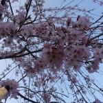 Sous les cerisiers en fleurs - La souris voyageuse - Est songeuse.