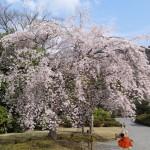Chaque année la floraison des cerisiers est l'occasion du Hamani.