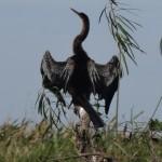 Un cormoran sèche ses plumes.