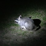 Une viscache, une créature mi-chinchilla mi-lapin.