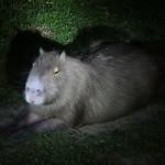 Un capybara nous fait comprendre qu'il aimerait bien qu'on arrête de braquer nos lampes sur lui pour qu'il puisse dormir.