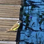 Avant notre départ, un oiseau jaune profite d'une promenade sur le ponton.