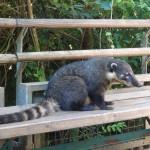 Un coati, un petit mammifère d'Amérique du sud, qu'on trouve un peu partout à Iguazu (attention, ils mordent !).