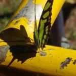 Les papillons sont nombreux à Iguazu. Ils leurs arrivent souvent de se poser sur les visiteurs.