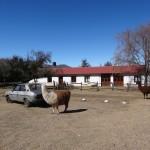 Deux lamas broutent une herbe rase près de l'estancia où nous avons passé la nuit.