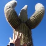 Certains spécimens sont gigantesques (et très vieux, ils ne grandissent que de 3 à 4 cm par an).