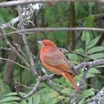 Au sommet de la colline San Bernardo, un oiseau rouge a trouvé refuge...