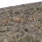 À l'est de Humahuaca, à plus de 4000 m d'altitude, nous croisons un petit troupeau de vicuñas (vigognes, des voisins des lamas).