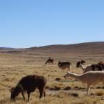 On a croisé de nombreux troupeaux de lamas.