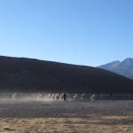 En quittant le petit village de Quetena Chico, on voit un berger emmener ses lamas.