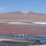 Dans la laguna Colorado (4300 m) de nombreux flamands roses se sont adaptés à cet environnement extrêmement difficile.