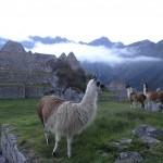 Des lamas blasés broutent sur les terrasses du Machu Picchu.