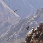 Quelques condors tentent un atterrissage groupé...