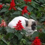 Dans un parterre de fleur, un chat a trouvé refuge.
