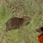 Cet animal tapi dans les fourrés est un capybara.