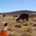 Un troupeau de lamas broute les rares herbes.