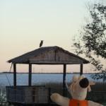 Le martin-pêcheur à ventre roux se repose avant de reprendre sa pêche.