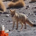 Ce renard des Andes est surpris de voir Mausi.