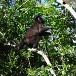 Mausi fait un concours de cris avec un singe hurleur.