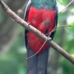 Un cousin du quetzal.