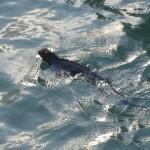 Bien qu'ils aient l'air patauds sur terre, ces iguanes nagent très bien.