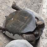 Une tortue maladroite dans un centre de protection d'Isabella.