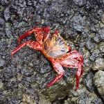 Un crabe rouge des Galápagos.