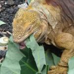 Un iguane terrestre en plein repas.