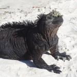Un iguane prend le soleil.