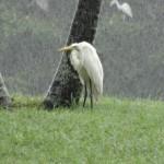 Un héron peste intérieurement sur la saison des pluies.