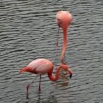 Des flamands roses profitent d'un petit lac artificiel près de Puerto Villamil.