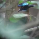Un Motmot houtouc, un oiseau emblématique du parc.