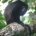 Un singe hurleur à manteau. Dans la jungle, on entend souvent leurs cris.