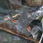 Une tortue d'eau douce émerge d'une des rivières de la forêt.
