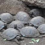 Bébés tortues du centre Darwin. Une fois qu'elles auront atteint une taille et une épaisseur de carapace suffisante, elles seront relâchées dans la nature.