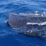 Les requins-baleines ne craignent pas les bateaux et s'approchent parfois très près de notre embarcation.