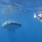 Si on n'était pas certains que ces requins-baleines ne se nourrissent que de plancton, on pourrait croire qu'on va servir de diner.
